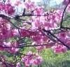 本部八重岳桜まつりの場所とアクセス