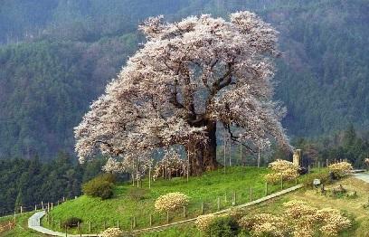 醍醐桜昼間