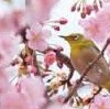 岡山後楽園の桜と桜カーニバル