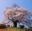 岡山の醍醐桜日没からライトアップ
