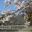 嵐山の桜の見頃と天竜寺しだれ桜