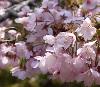花の醍醐寺桜の見頃