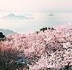 紫雲出山桜まつりと交通アクセス