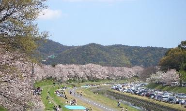 旭川原の桜