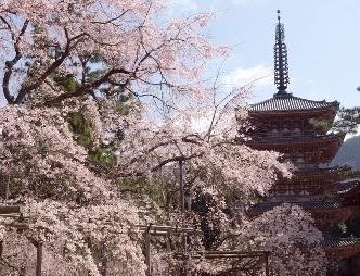 醍醐寺桜1