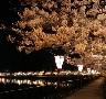 広島庄原上野公園の桜と見ごろ