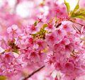 厳冬の中咲き誇る河津桜