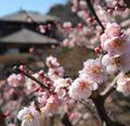 水戸の梅まつりで一足早い春を楽しむ