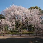 東京六義園のしだれ桜と大名庭園のライトアップ