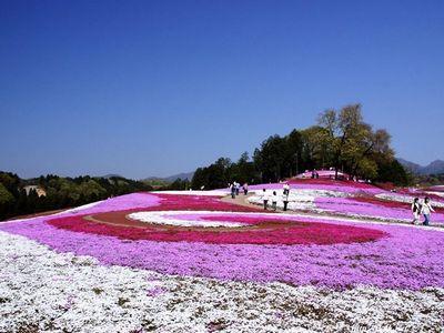 群馬県みさと芝桜まつり開催時期とイベント案内