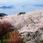 紫雲出山の桜シーズンとライトアップ&交通アクセス